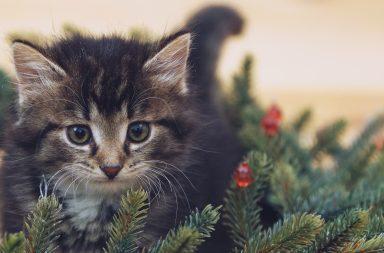 vauvakiisu ja joulukuusen oksa